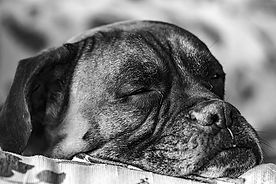 Boxer schlapp.jpg
