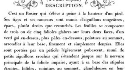 LE PETIT ROSIER 11×14 DECOR TRANSFER™