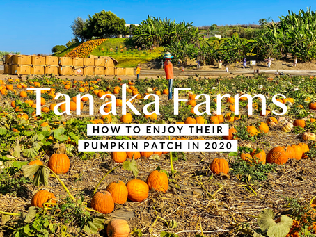 Tanaka Farms-How To Enjoy Their Pumpkin Patch In 2020