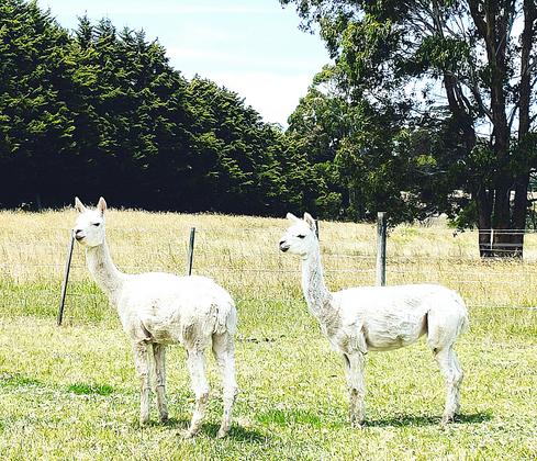 Our Alpacas.png