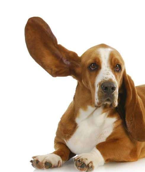 Dog ears bassett.jpg