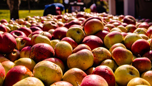 PHOTOGRAPHY APPLE HARVEST