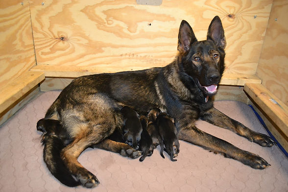 Benelli on Snider with her litter of puppies