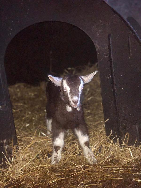 goat kid 2.jpeg