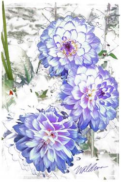 Blue Dahlia Whispers