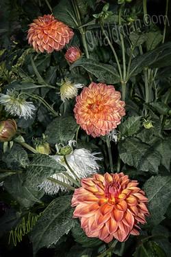 Dahlia Glow Botanica