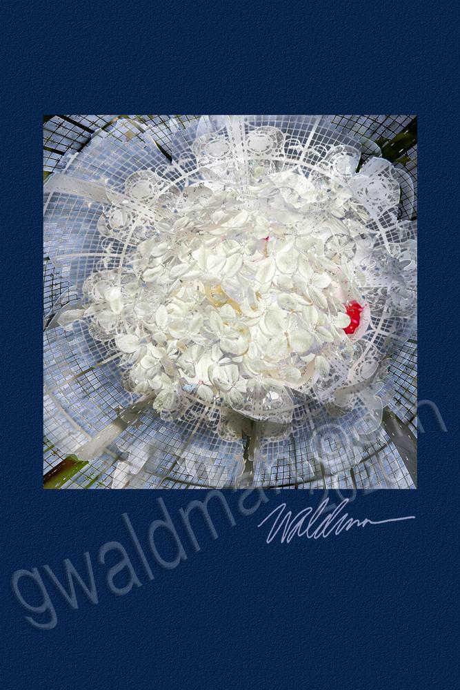 Hydrangea Lace-bordered