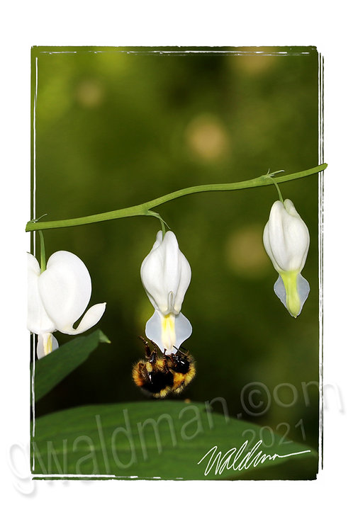Acrobat Bee-5x7 art card