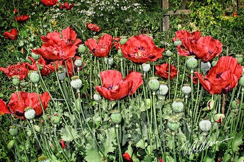 Poppy Garden-5x7 art card