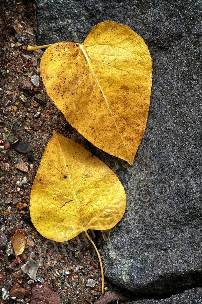 Leaf Duet