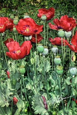 Poppy Garden Too