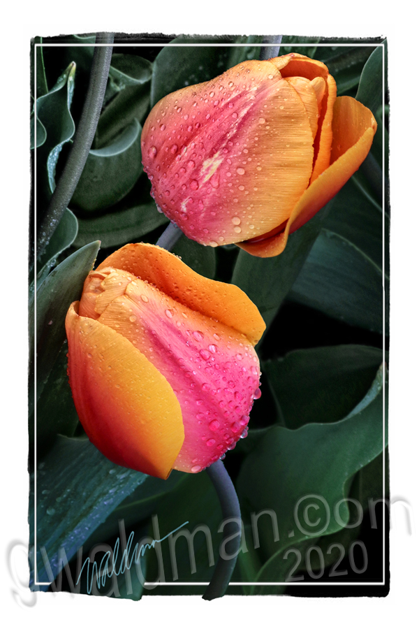 Tulip Fiesta Bouquet