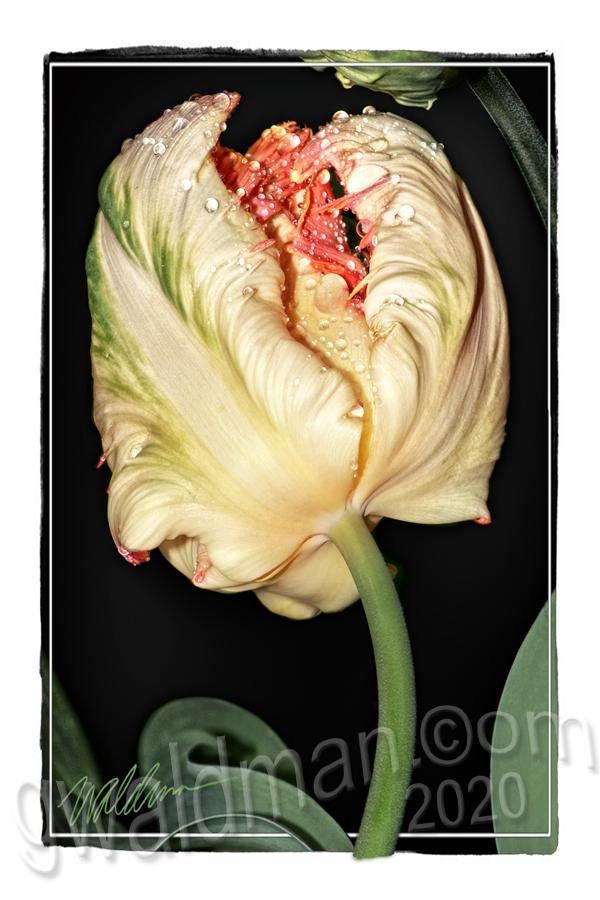 Tulip Creamy Bouquet