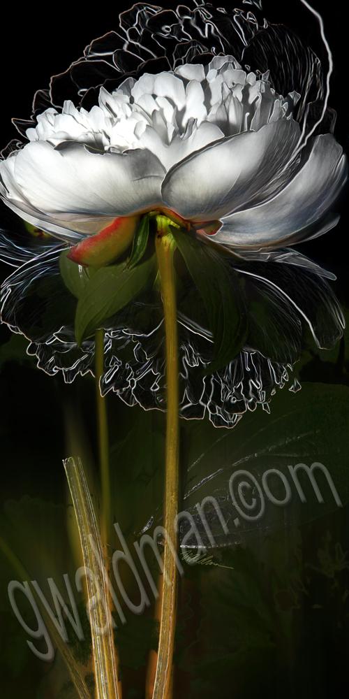 Peony Botanica