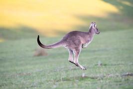 Australien_Känguru.jpg