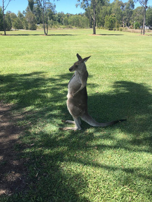 Kangaroo on Campus.jpg