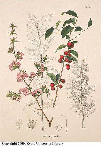 Prunus Japonica.jpg