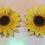 Thumbnail: Sunflower Pasties