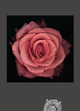 pinkrose3.jpg