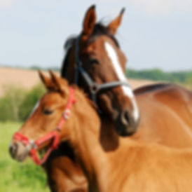 Mare and foal horse