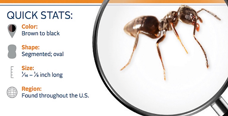 """Quick Stats about Ants: Brown color, Segmented Shape, Less than 1/8"""" long, Found throughout the US"""