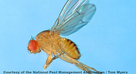 Quic Stats on Fruit Flies
