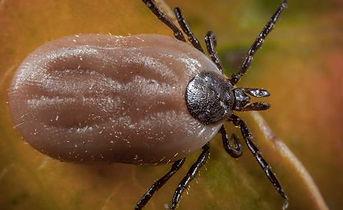 brown tick