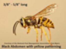 Yellow Jacket: black abdomen with yellow patterning