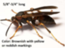 Paper Wasp: brown with yellow or red markings
