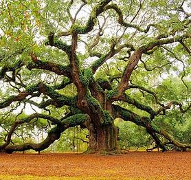 Oak Tree 2.jpg