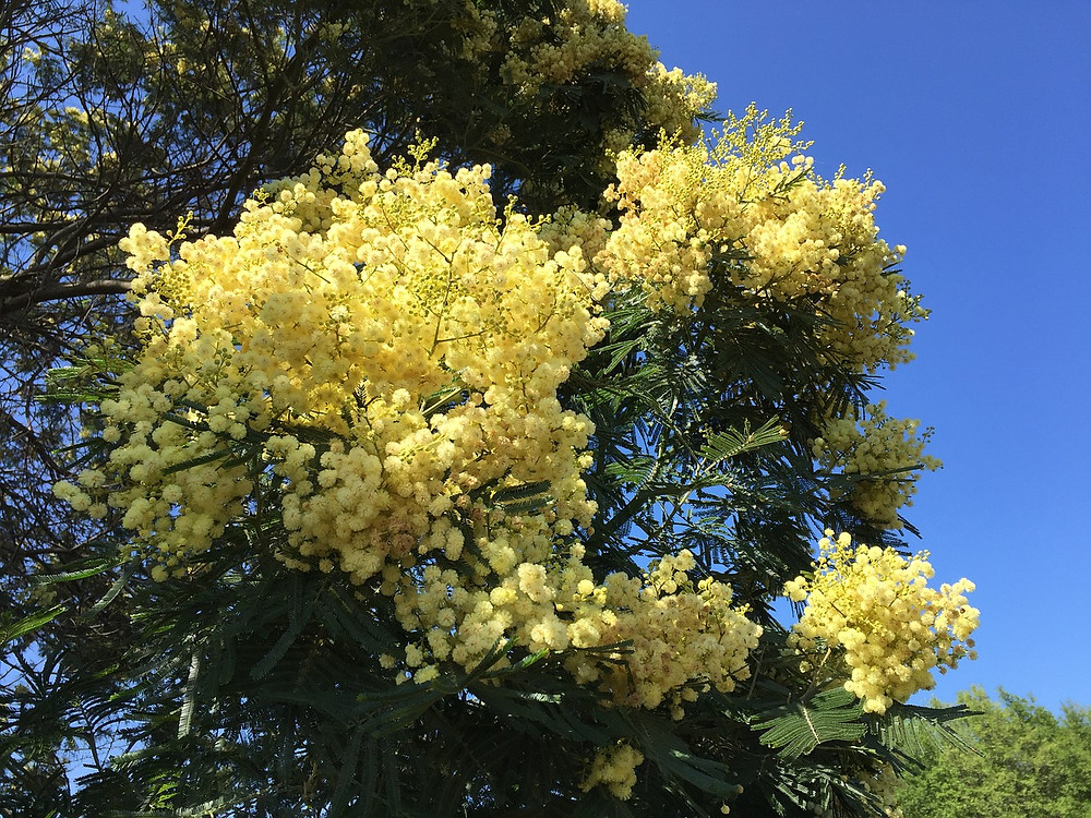 Buttery light yellow profusions of flowers are silhouetted against darker foliage and an electric blue sky.