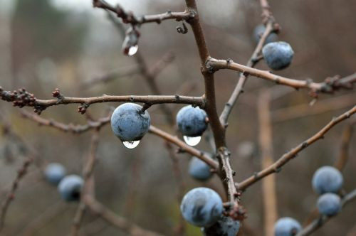 Spindly twigs with ripe fruit hanging, water after rain is dripping from the fruit.
