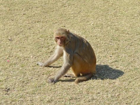 China y la crisis de los macacos