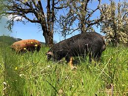 pig pasture.jpg