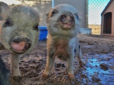 Little Piglet Update!