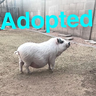 Our little Snow White has been adopted! Yay!!!!! She goes to her forever home on Sunday in Prescott.