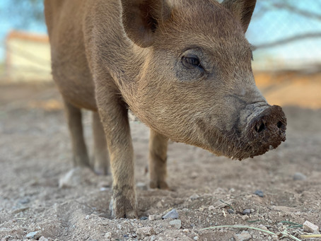 Piggy facts you should know before ownership..