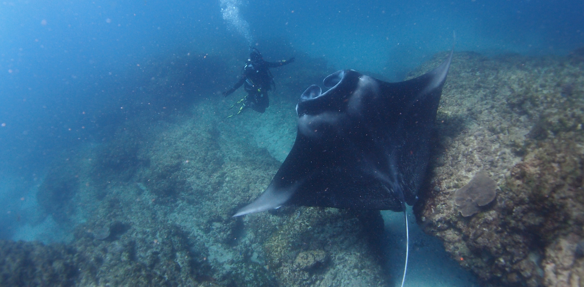Manta rays and divers