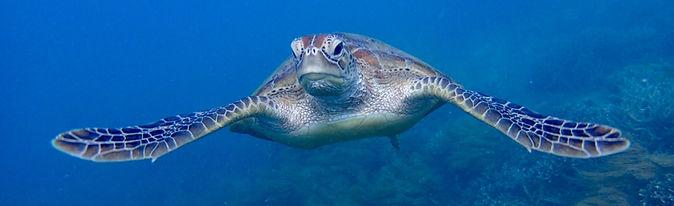 グレートバリアリーフで出会えるアオウミガメ