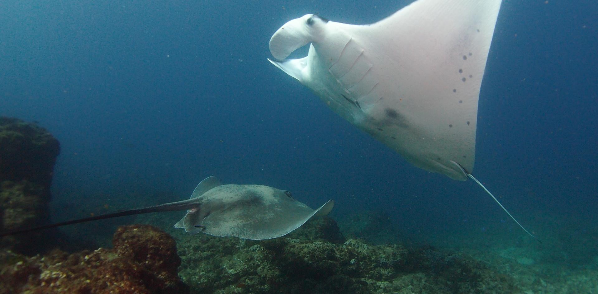 Manta ray and round ribbontail ray