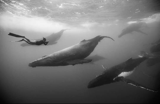 TonganExpeditions Whales and diver