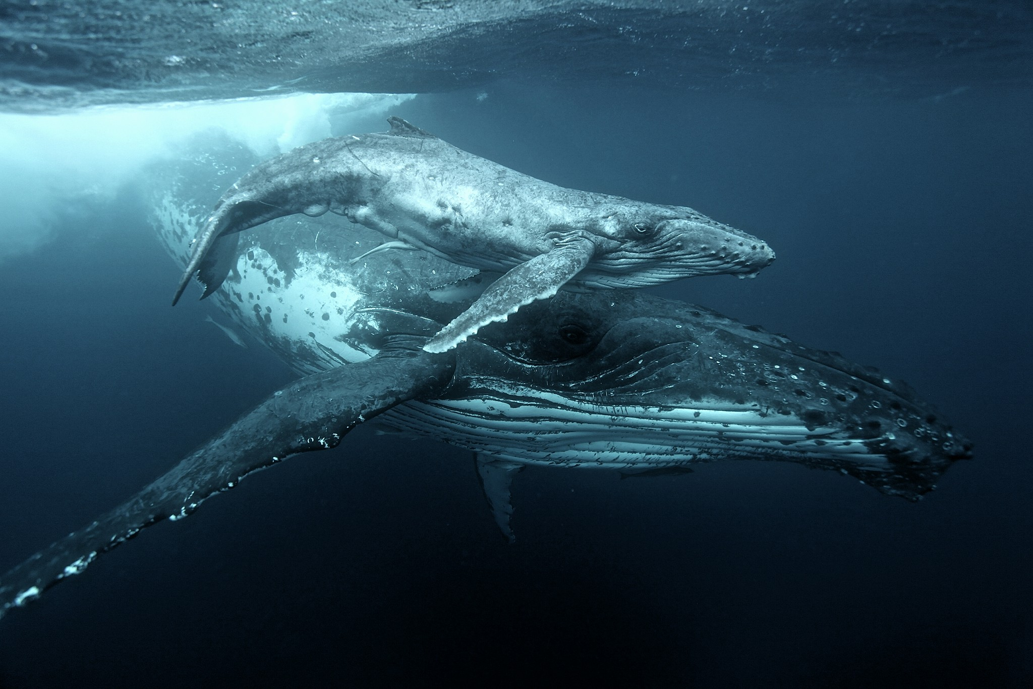 Tongan Expeditions Whale mom &Calf