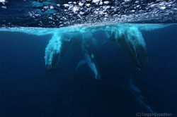 Tongan Expeditions Whale