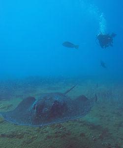 ヨンガラ沈船と巨大エイ
