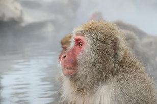 JPN_snow monkey.jpg