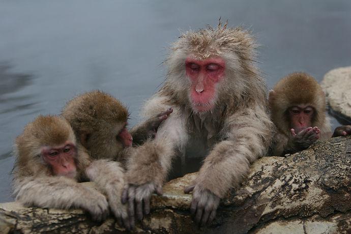 Snow Monkeys in Hakuba
