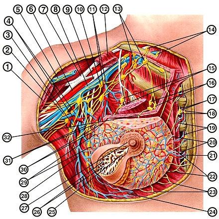 1 — большая грудная мышца; 2 — латеральные лимфатические узлы; 3 — подлопаточный лимфатический узел; 4 — подлопаточные артерия и вена; 5 — латеральная подкожная вена руки; 6 и 8 — подмышечные артерия и вена; 7 и 9 — латеральный и медиальный пучки плечевого сплетения; 10 — центральные лимфатические узлы; 11 — латеральные грудные артерия и вена; 12 — малая грудная мышца; 13 — верхушечные лимфатические узлы; 14 — надключичные лимфатические узлы; 15 — подгрудные лимфатические узлы; 16 — межгрудные лимфатические узлы; 17 — внутренние грудные артерия и вена; 18 — окологрудинные лимфатические узлы: 19 — прободающие ветви внутренней грудной артерии; 20 — медиальные ветви к молочной железе от межреберных нервов; 21 — ветвь к молочной железе от внутренней грудной артерии; 22 — лимфатические сосуды, направляющиеся к окологрудинным лимфатическим узлам; 23 — лимфатические сосуды, направляющиеся к предбрюшинной клетчатке; 24 — ветвь к молочной железе от задней межреберной артерии; 25 — млечный синус