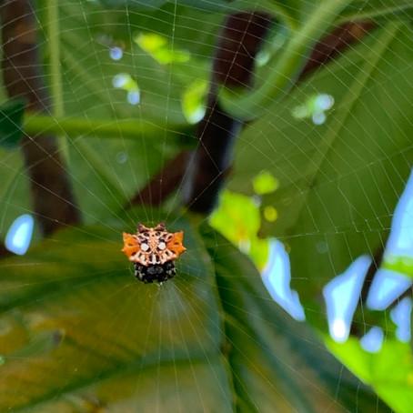 これがシーサー蜘蛛