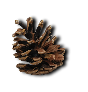 PineCone01.png