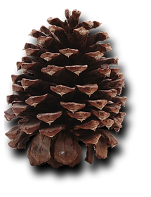 PineCone2.png